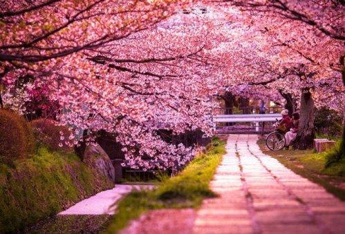 gambar-bunga-sakura-jepang-indah-cantik-13